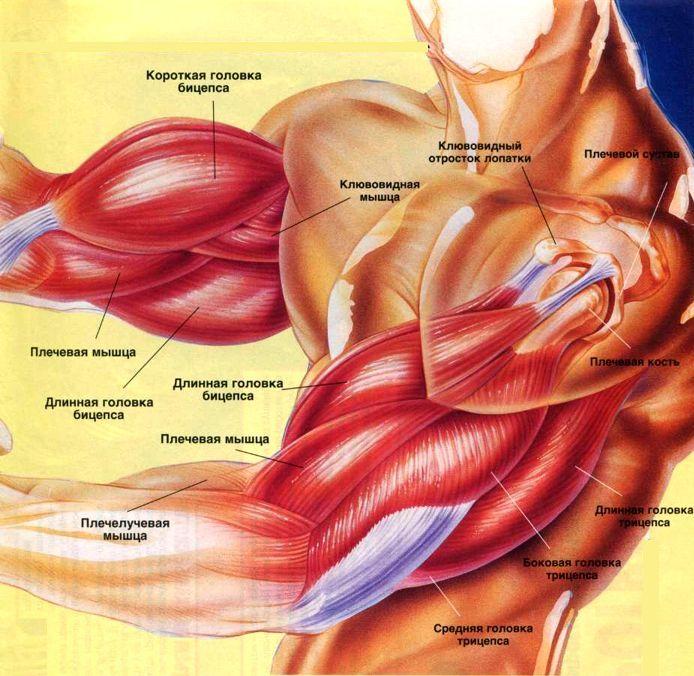 Какая мышца отвечает за сгибание руки в локтевом суставе бицепс лечебные упражнения при артрозе коленного сустава видео